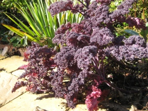 Purple Kale in the Garden
