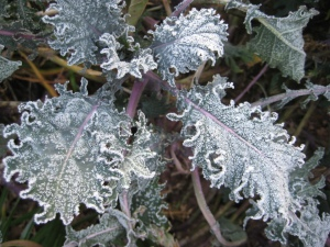 Russian Kale With Frost