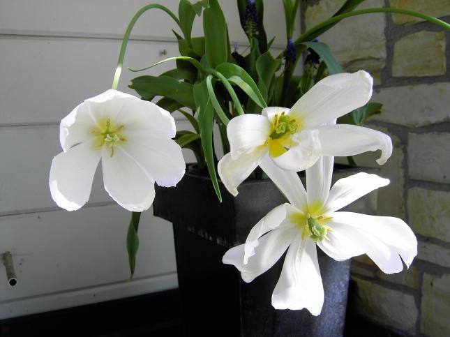 Cream Tulips