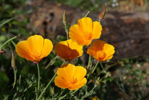 Albright-Souza Poppies DSC03097