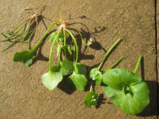 Albright-Souza Miner's Lettuce Leaf Development
