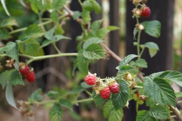 AlbrightSouza Raspberries 7039