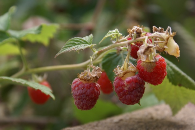 AlbrightSouza Raspberries 7041