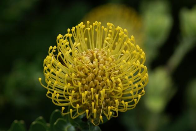 Albright-Souza Leucospermum flower 4790