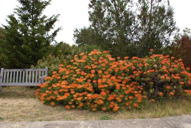 Albright-Souza Leucospermum Plant 7001