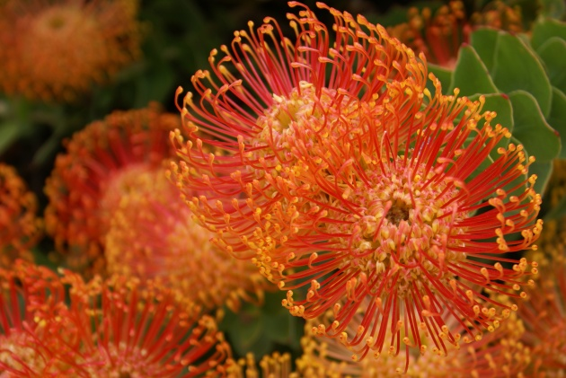 Albright-Souza Leucospermum Flower 7003