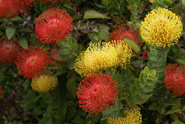 Albright-Souza Leucospermum mixed flowers 7009