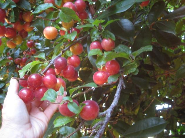 Albright-Souza Plums Cherry on tree