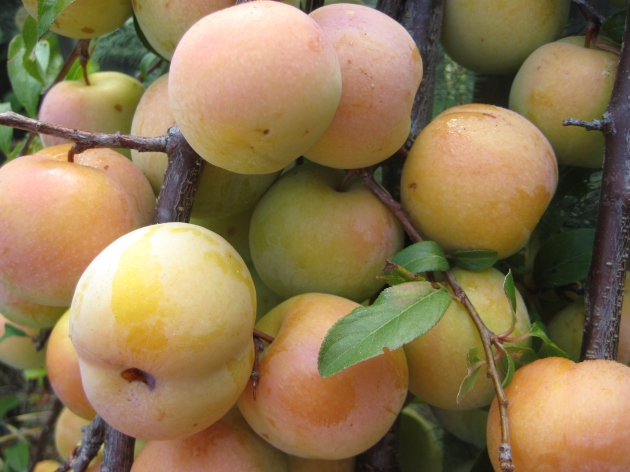 Albright-Souza Plums Yellow Pluots