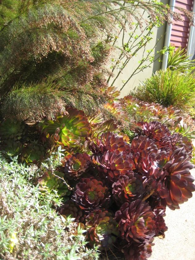 Albright-Souza Succulent Style backlit Aeonium with Restio