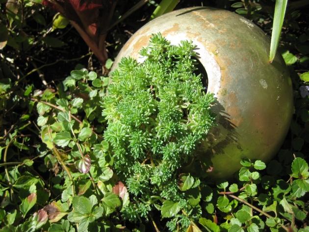 Albright-Souza Succulent Style Sedum Ball
