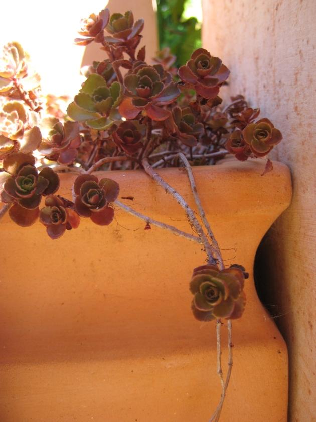 Albright-Souza Succulent Style Sedum Dragonsblood