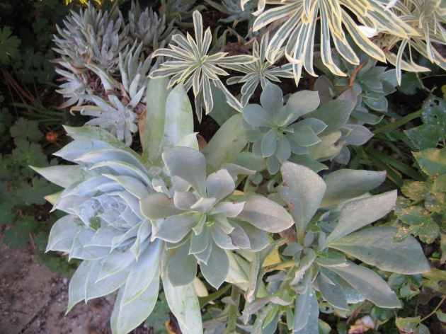 Albright-Souza Succulent Style White Foliage