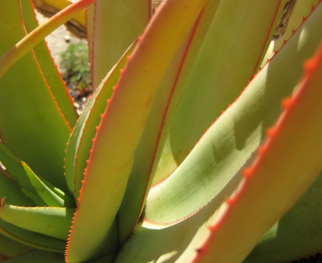 Albright-Souza Orange Aloe Edge crp