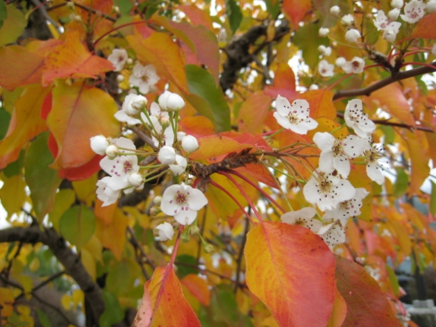 Albright-Souza Flowering Pear