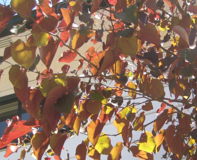 Albright-Souza Cercis Leaves