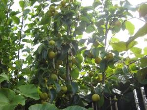 Garden Pear Tree