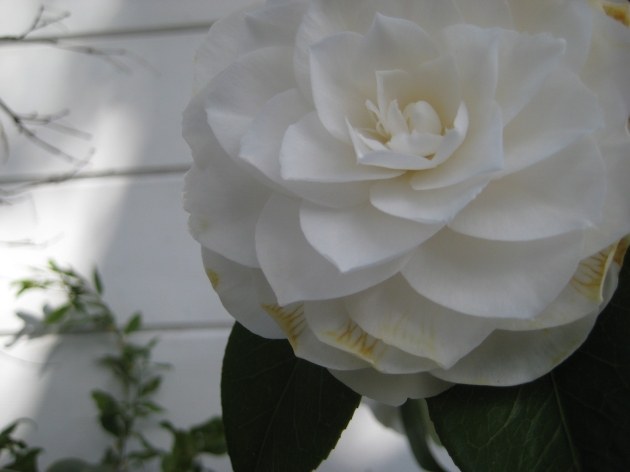 AlbrightSouza_PreSpring__Camellia_4253