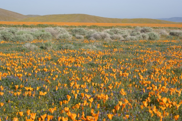 poppies and sage