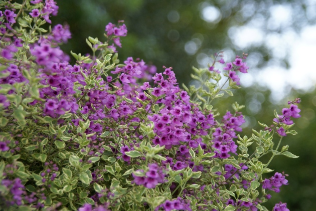 Prostanthera in bloom