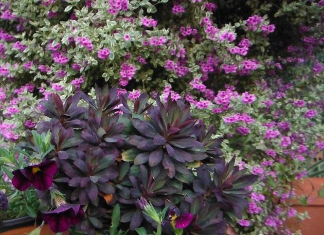 prostanthera with Euphorbia