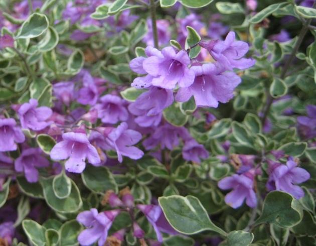 Prostanthera blossoms