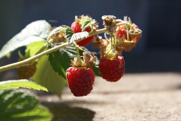 raspberries for spritzer