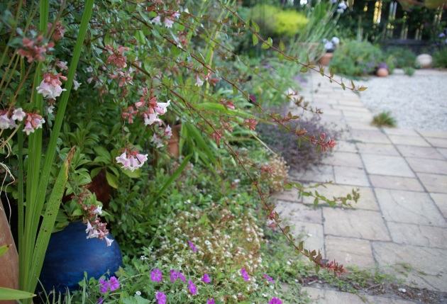 Late Summer Garden with Abelia