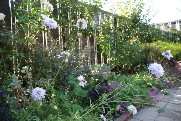 Late Summer Garden with Scabiosa