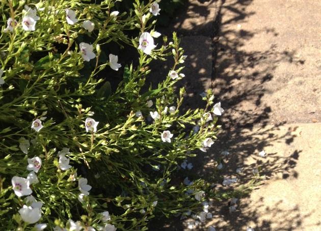 Parahebe linifolia