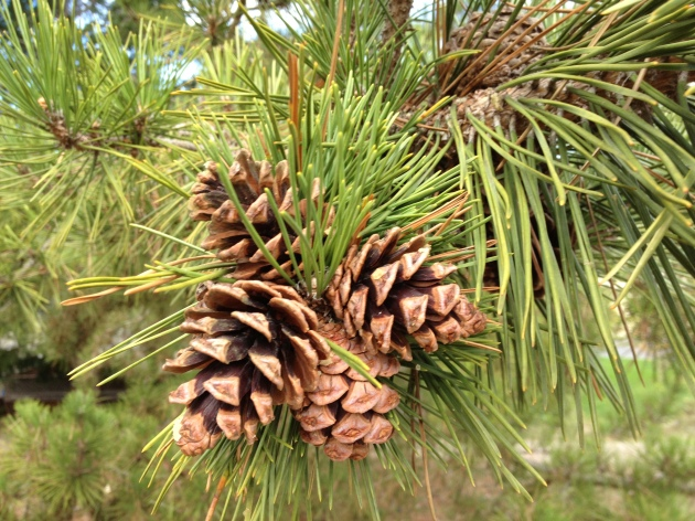 Cones grouped on a branch of Pinus contorta