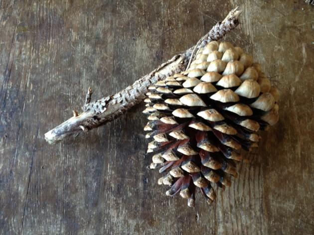 Pinus radiata - Monterey Pine