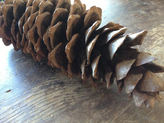 Close up on a cone of Pinus lambertiana or Sugar Pine