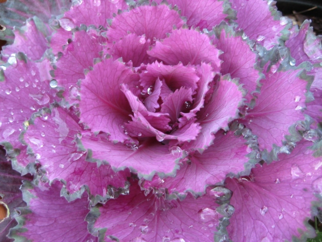 purple kale with dew drops