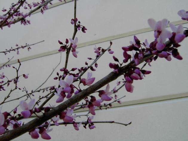 cercis blossoms