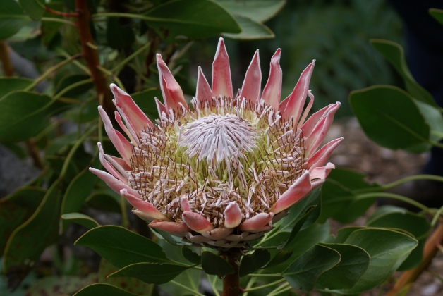 King Protea Cape Town