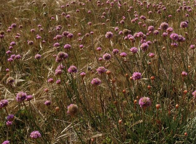 Armeria maritima ssp. Californica