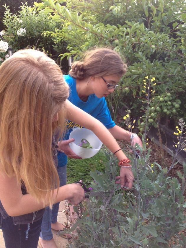harvesting bolted kale