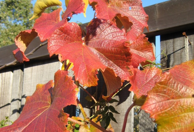 Glory Vine in Fall