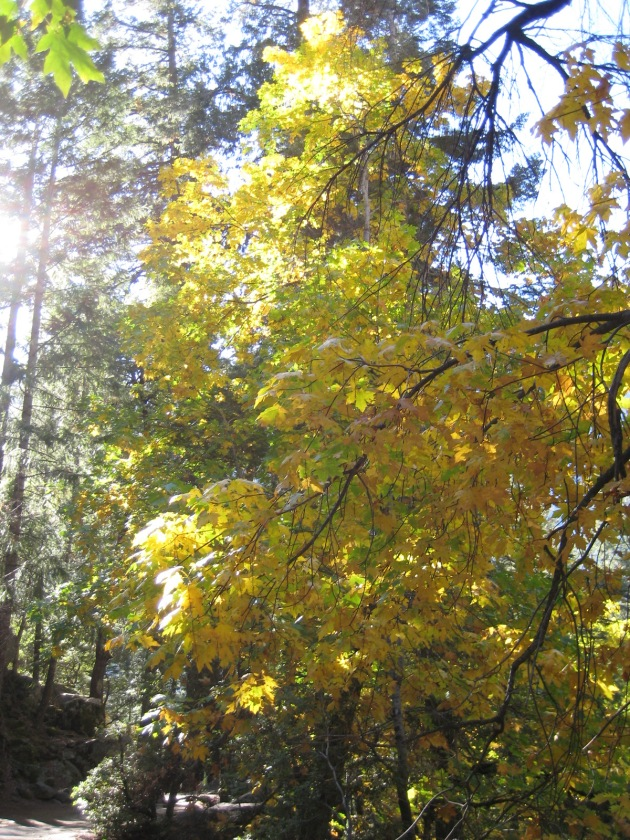 Big Leaf Maple Yosemite