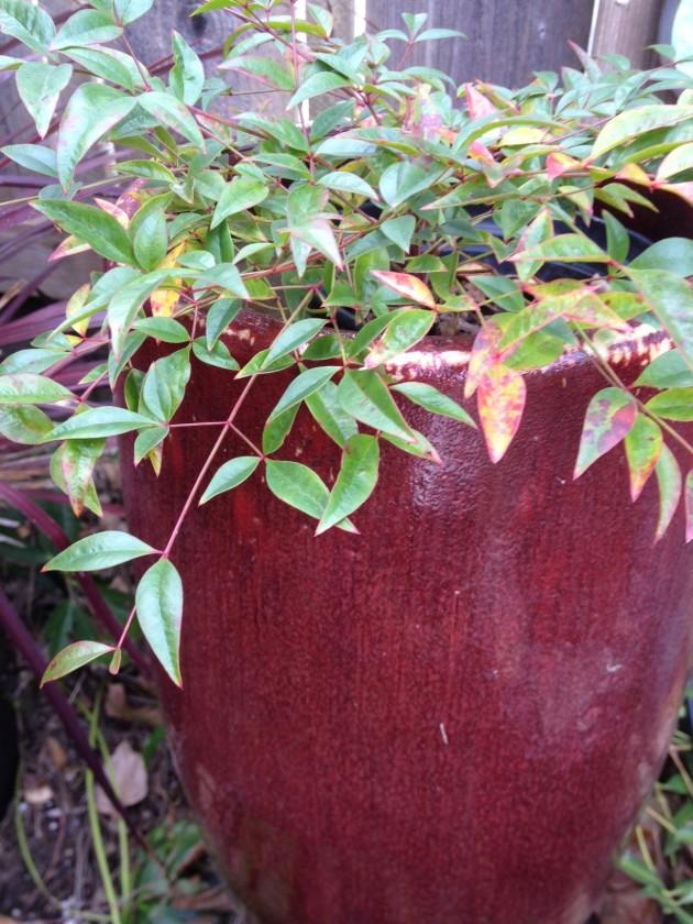 Nandina with red glazed pot