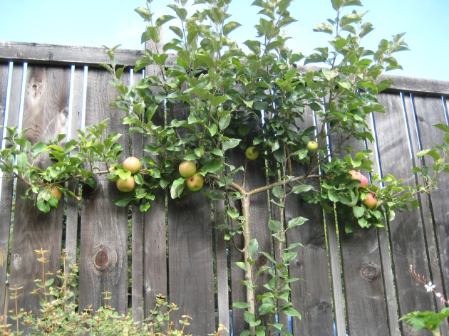 apple espalier on fence