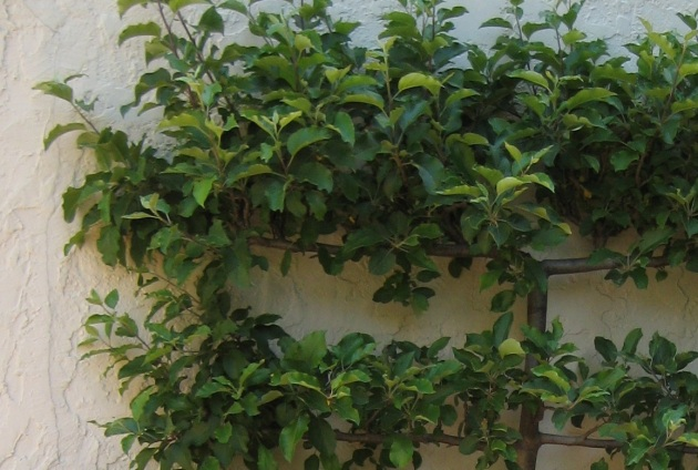 how to make an espalier