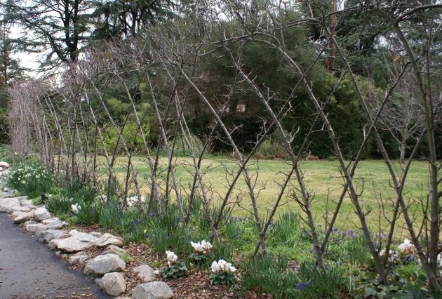 begian fence espalier in spring