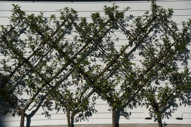 belgian fence espalier summer