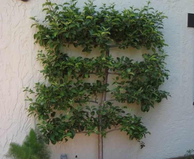 espalier on wall with cordons