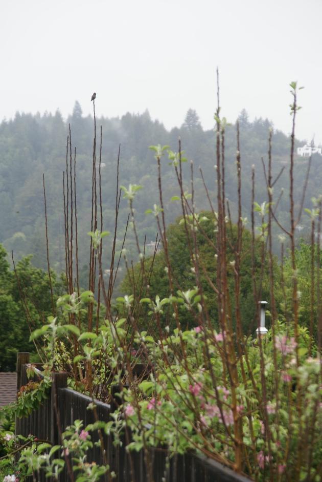 season growth on apple espaliers with bird