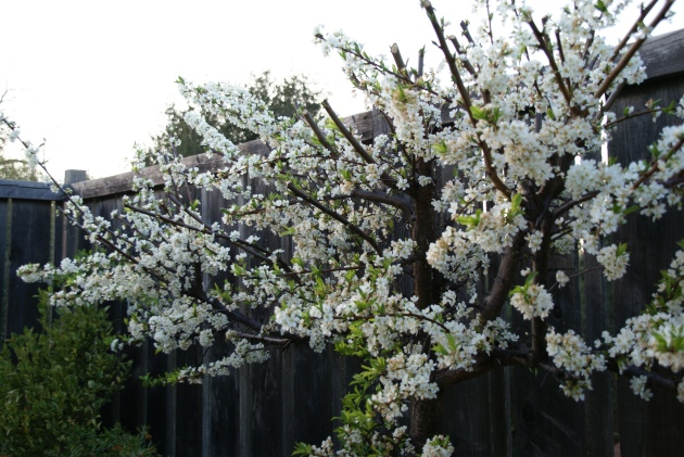 espaliered plum blossoms