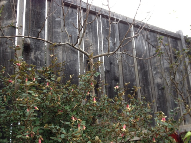 winter espalier form with flowering correa