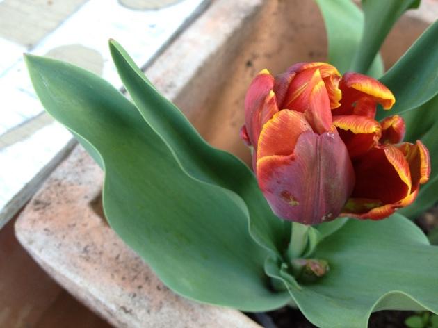 tulip bud orange parrot
